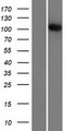 R3HDM2 Protein - Western validation with an anti-DDK antibody * L: Control HEK293 lysate R: Over-expression lysate