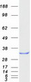 Purified recombinant protein RANBP1 was analyzed by SDS-PAGE gel and Coomassie Blue Staining