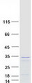RAP30 / GTF2F2 Protein - Purified recombinant protein GTF2F2 was analyzed by SDS-PAGE gel and Coomassie Blue Staining