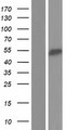 RBM23 Protein - Western validation with an anti-DDK antibody * L: Control HEK293 lysate R: Over-expression lysate