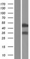 RBM41 Protein - Western validation with an anti-DDK antibody * L: Control HEK293 lysate R: Over-expression lysate