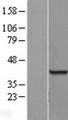 RBMX2 Protein - Western validation with an anti-DDK antibody * L: Control HEK293 lysate R: Over-expression lysate