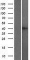 RBMXL2 Protein - Western validation with an anti-DDK antibody * L: Control HEK293 lysate R: Over-expression lysate