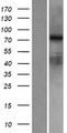 RED2 / ADARB2 Protein - Western validation with an anti-DDK antibody * L: Control HEK293 lysate R: Over-expression lysate