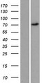 REPS2 Protein - Western validation with an anti-DDK antibody * L: Control HEK293 lysate R: Over-expression lysate