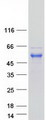 Purified recombinant protein RFFL was analyzed by SDS-PAGE gel and Coomassie Blue Staining