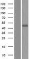 RGS20 / RGSZ1 Protein - Western validation with an anti-DDK antibody * L: Control HEK293 lysate R: Over-expression lysate