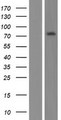 RINL Protein - Western validation with an anti-DDK antibody * L: Control HEK293 lysate R: Over-expression lysate
