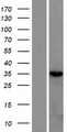 RNASEH2B Protein - Western validation with an anti-DDK antibody * L: Control HEK293 lysate R: Over-expression lysate