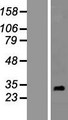 RNF151 Protein - Western validation with an anti-DDK antibody * L: Control HEK293 lysate R: Over-expression lysate
