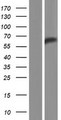 RPAP3 / FLJ21908 Protein - Western validation with an anti-DDK antibody * L: Control HEK293 lysate R: Over-expression lysate