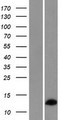 RPL36AL Protein - Western validation with an anti-DDK antibody * L: Control HEK293 lysate R: Over-expression lysate