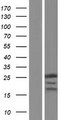 RPP25 Protein - Western validation with an anti-DDK antibody * L: Control HEK293 lysate R: Over-expression lysate
