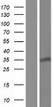 RPS3A / Ribosomal Protein S3A Protein - Western validation with an anti-DDK antibody * L: Control HEK293 lysate R: Over-expression lysate