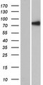 RSHL1 Protein - Western validation with an anti-DDK antibody * L: Control HEK293 lysate R: Over-expression lysate