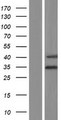 RSPH9 / C6orf206 Protein - Western validation with an anti-DDK antibody * L: Control HEK293 lysate R: Over-expression lysate