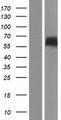 RTN2 / Reticulon 2 Protein - Western validation with an anti-DDK antibody * L: Control HEK293 lysate R: Over-expression lysate