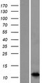 S100A7A / S100A15 Protein - Western validation with an anti-DDK antibody * L: Control HEK293 lysate R: Over-expression lysate