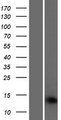 SAMD13 Protein - Western validation with an anti-DDK antibody * L: Control HEK293 lysate R: Over-expression lysate