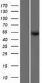 SAMD14 Protein - Western validation with an anti-DDK antibody * L: Control HEK293 lysate R: Over-expression lysate