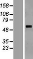 SARS2 / SYS Protein - Western validation with an anti-DDK antibody * L: Control HEK293 lysate R: Over-expression lysate