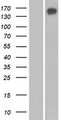 SBNO1 Protein - Western validation with an anti-DDK antibody * L: Control HEK293 lysate R: Over-expression lysate