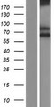 SCARA3 / APC7 Protein - Western validation with an anti-DDK antibody * L: Control HEK293 lysate R: Over-expression lysate