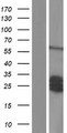 SCG5 / 7B2 Protein - Western validation with an anti-DDK antibody * L: Control HEK293 lysate R: Over-expression lysate