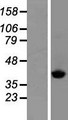 SCLY Protein - Western validation with an anti-DDK antibody * L: Control HEK293 lysate R: Over-expression lysate