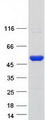 SCLY Protein - Purified recombinant protein SCLY was analyzed by SDS-PAGE gel and Coomassie Blue Staining