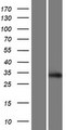 SCRT2 / Scratch 2 Protein - Western validation with an anti-DDK antibody * L: Control HEK293 lysate R: Over-expression lysate