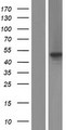 SDE2 / C1orf55 Protein - Western validation with an anti-DDK antibody * L: Control HEK293 lysate R: Over-expression lysate