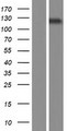 SEC24A Protein - Western validation with an anti-DDK antibody * L: Control HEK293 lysate R: Over-expression lysate