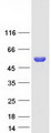 SERGEF Protein - Purified recombinant protein SERGEF was analyzed by SDS-PAGE gel and Coomassie Blue Staining
