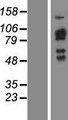 SH2D3C / NSP3 Protein - Western validation with an anti-DDK antibody * L: Control HEK293 lysate R: Over-expression lysate