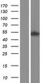 SH2D4A Protein - Western validation with an anti-DDK antibody * L: Control HEK293 lysate R: Over-expression lysate