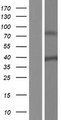 SH3YL1 Protein - Western validation with an anti-DDK antibody * L: Control HEK293 lysate R: Over-expression lysate