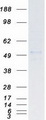 Purified recombinant protein SKP2 was analyzed by SDS-PAGE gel and Coomassie Blue Staining