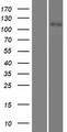 SLC12A3 / TSC Protein - Western validation with an anti-DDK antibody * L: Control HEK293 lysate R: Over-expression lysate