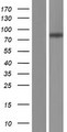 SLC26A6 / PAT1 Protein - Western validation with an anti-DDK antibody * L: Control HEK293 lysate R: Over-expression lysate