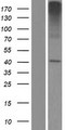 SLC35E2 Protein - Western validation with an anti-DDK antibody * L: Control HEK293 lysate R: Over-expression lysate