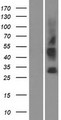 SLC35G3 Protein - Western validation with an anti-DDK antibody * L: Control HEK293 lysate R: Over-expression lysate