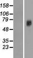 SLC38A7 Protein - Western validation with an anti-DDK antibody * L: Control HEK293 lysate R: Over-expression lysate