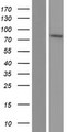 SLC39A12 / ZIP12 Protein - Western validation with an anti-DDK antibody * L: Control HEK293 lysate R: Over-expression lysate