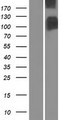SLC4A1 / Band 3 / AE1 Protein - Western validation with an anti-DDK antibody * L: Control HEK293 lysate R: Over-expression lysate