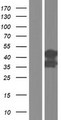 SLC9A3R2 / SIP1 Protein - Western validation with an anti-DDK antibody * L: Control HEK293 lysate R: Over-expression lysate