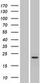SLC9B1 / NHEDC1 Protein - Western validation with an anti-DDK antibody * L: Control HEK293 lysate R: Over-expression lysate