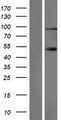 SLMAP / SLAP Protein - Western validation with an anti-DDK antibody * L: Control HEK293 lysate R: Over-expression lysate