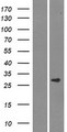 SMCO3 Protein - Western validation with an anti-DDK antibody * L: Control HEK293 lysate R: Over-expression lysate