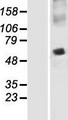 SNAP47 Protein - Western validation with an anti-DDK antibody * L: Control HEK293 lysate R: Over-expression lysate